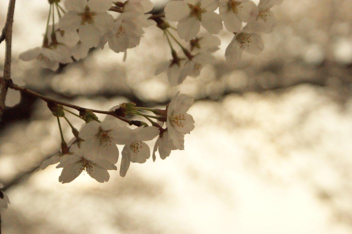 上野花見写真