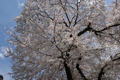 20080329sakura01