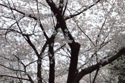 芝公園花見写真